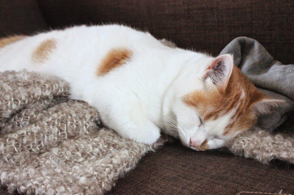 chat roux et blanc qui dort