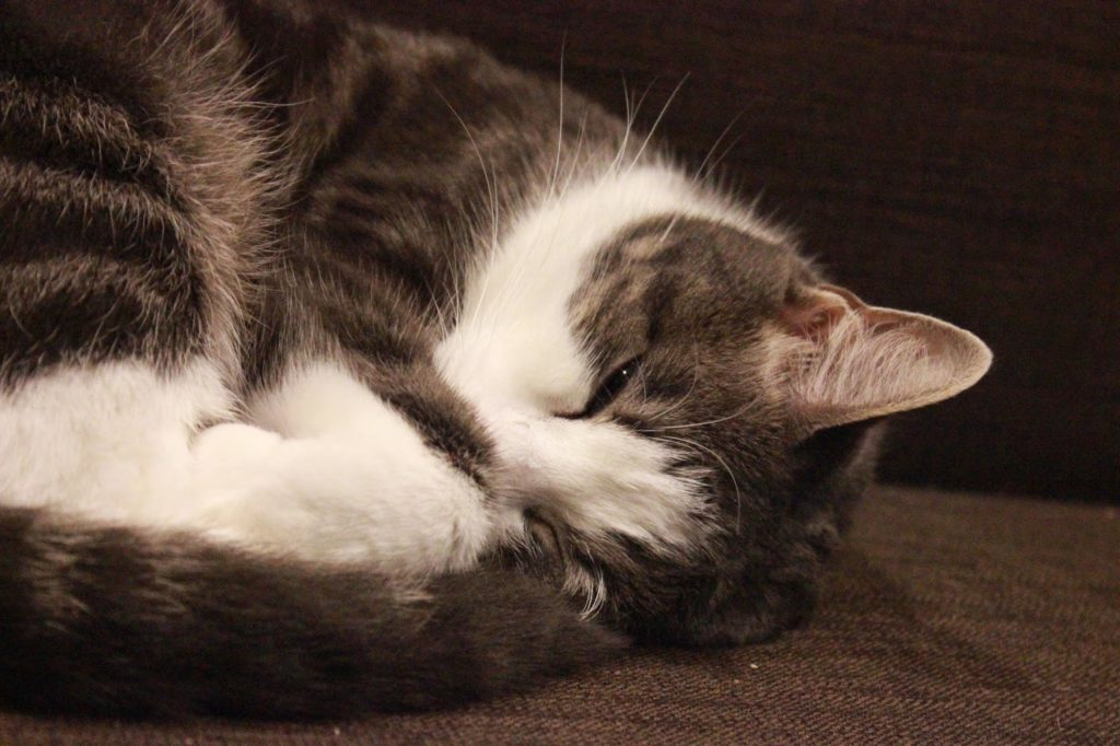 Chat endormi en boule