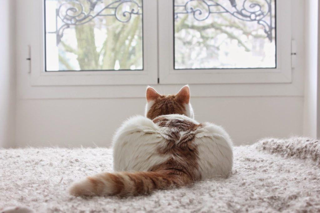 Chat blanc taches rousses