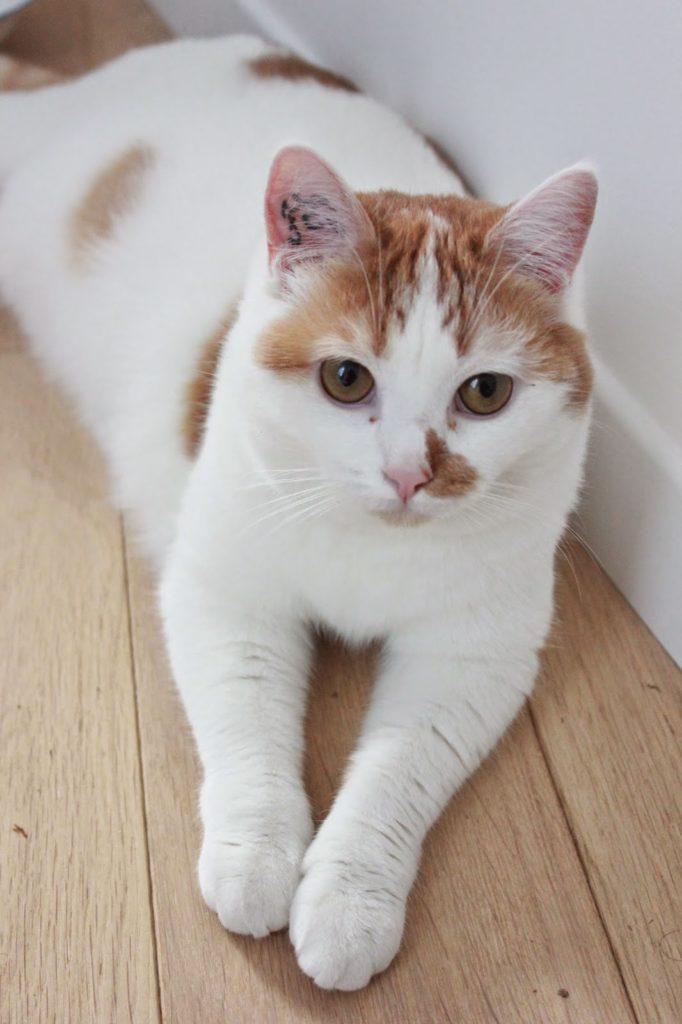 Chat roux et blanc